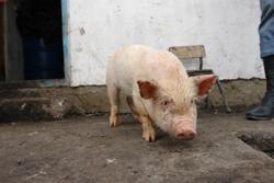 Наша импортная свинина была не из Мексики!