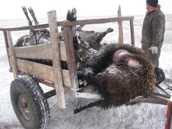 Волки задрали отару овец