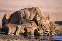 В зоопарке Шымкента погибли пятеро львят
